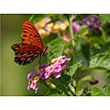 Butterfly (On Flowers) Art Poster Print